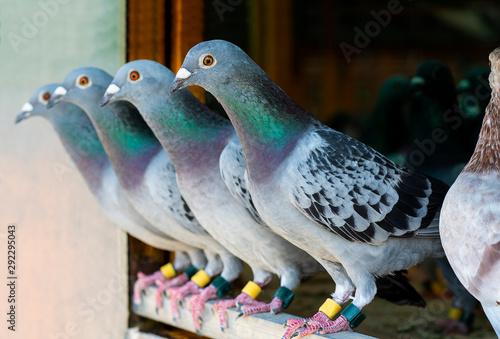 homing pigeon perching in home loft Fotobehang