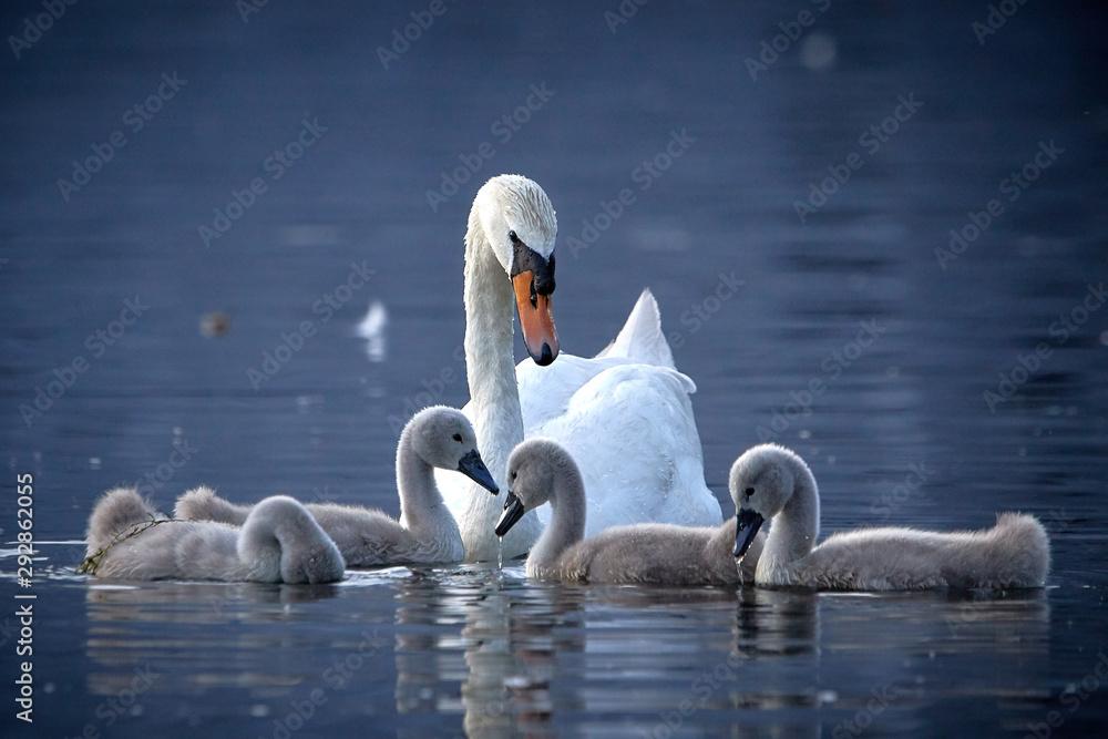 Łabędzia rodzina z kurczątkami w wodzie w zmierzchu <span>plik: #292862055 | autor: Oliver</span>