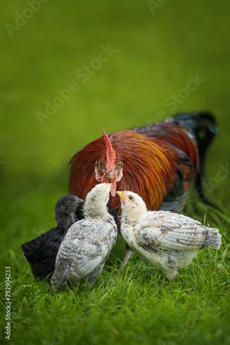Obraz na płótnie Cock with chicks in a meadow