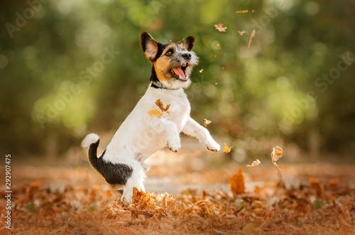 jack russell terrier dog beautiful portrait autumn park Fototapeta