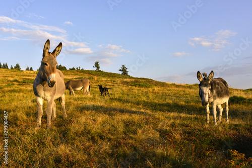 Tablou Canvas Deux ânes en prairie sous le ciel bleu au soleil couchant, département de l'Ardè