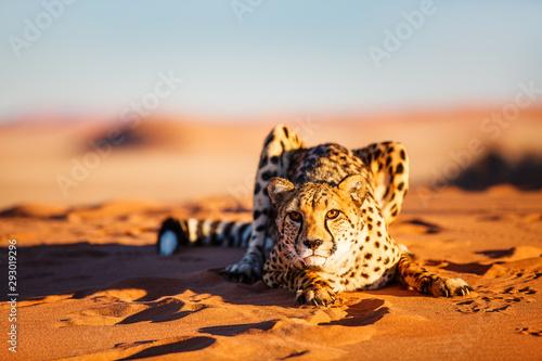 Cheetah in dunes Fototapeta