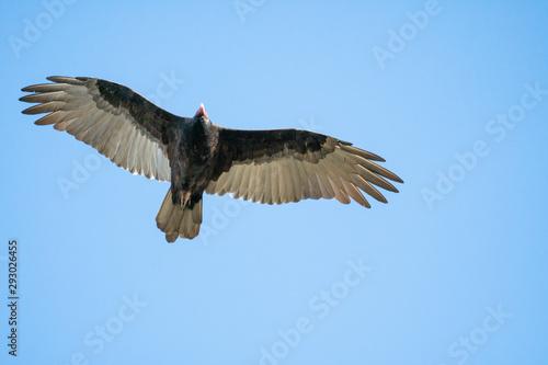 Valokuva turkey vulture flying through the air