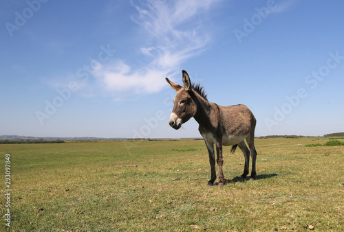 Canvas Print Funny curious donkey on the pasture