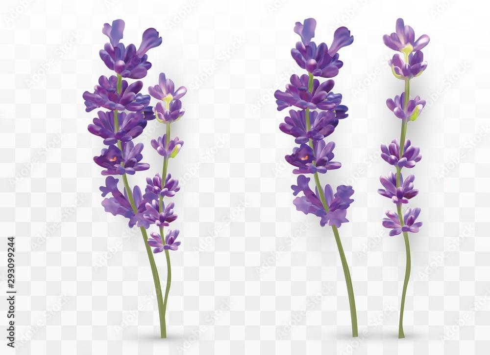 3D realistyczne lawendy na przezroczystym tle. Piękne fioletowe kwiaty. Pachnąca lawenda. Świeży kwiat cięty. Ilustracji wektorowych <span>plik: #293099244 | autor: YustynaOlha</span>