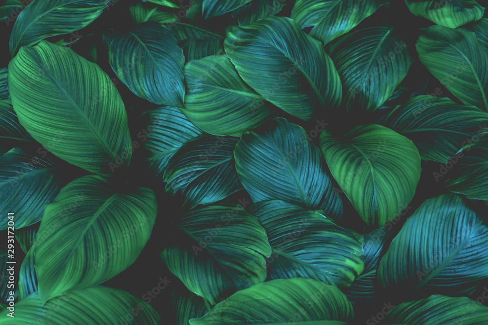 liście Spathiphyllum cannifolium, streszczenie tekstura zielony, tło natura, tropikalny liść <span>plik: #293172041 | autor: Nabodin</span>