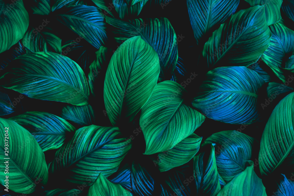 leaves of Spathiphyllum cannifolium, abstract green texture, nature background, tropical leaf <span>plik: #293172042   autor: Nabodin</span>