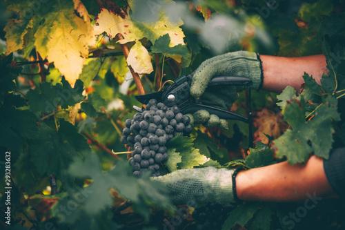 Stampa su Tela Grapes in hand, harvest in autumn.