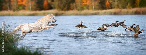 Fotografering golden retriever dog jumping into water hunting ducks