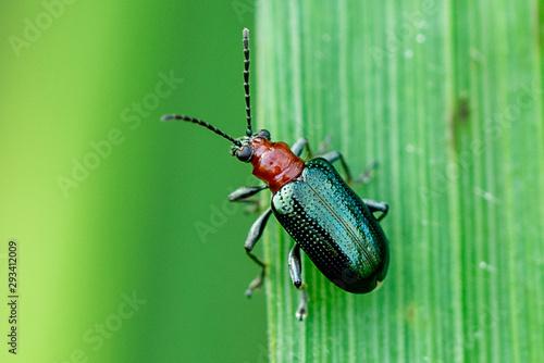 beetle on leaf Poster Mural XXL