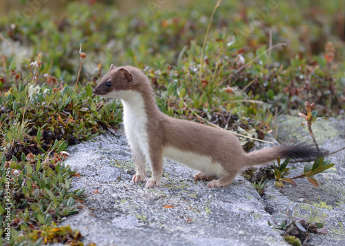 Fotografia a lively ermine seen during a hike in the alps above the village of Aussois