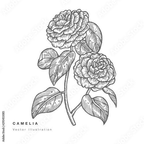 Fotografía Hand draw vector camelia flowers illustration