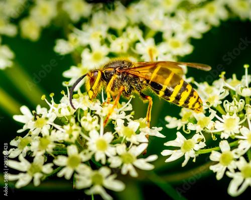 Fényképezés wasp on white flower