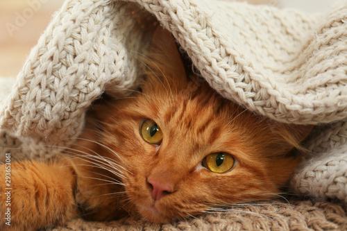 Adorable ginger cat under plaid at home. Cozy winter Fototapeta