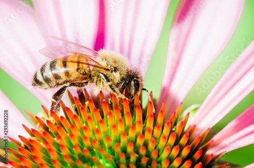 Obraz na plátně The bee pollinates the flower echinacea. Pollination.