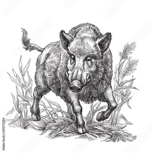 Fotografia, Obraz Hand drawn black and white illustration, wild boar.