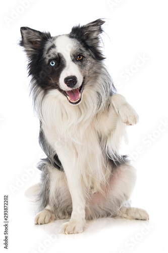 Border collie dog on white background lift the paw Fototapete