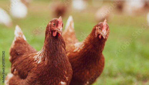 Obraz na plátně Happy hens on an organic farm - Chicken Portrait
