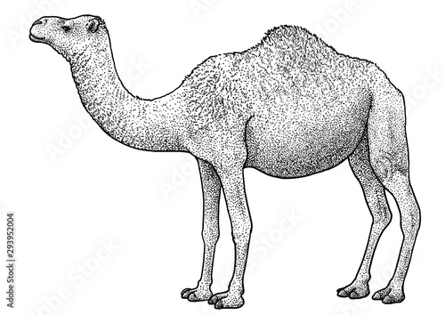 Arabian camel, dromedary illustration, drawing, engraving, ink, line art, vector Fototapet