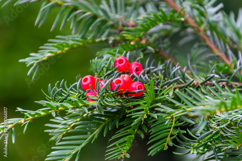 Fotografia A green branch with the red berries of european yew or taxus baccata tree