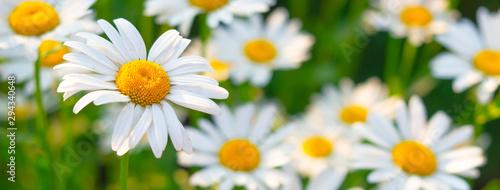 Billede på lærred Beautiful white daisy flowers in sunny day