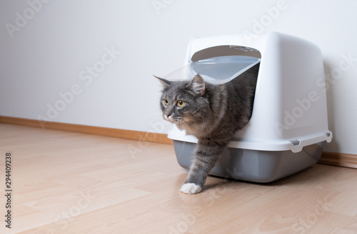 young blue tabby maine coon cat leaving gray hooded cat litter box with flap entrance standing on a wooden floor in front of white wall with copy space looking ahead