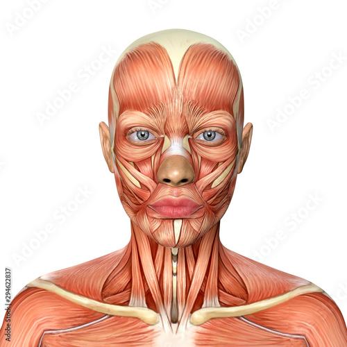 3d illustration of female head muscles anatomy Fototapete