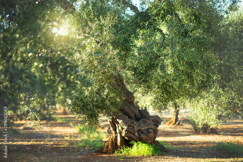 Photo Old olive tree in the sunshine. The background is blurry.