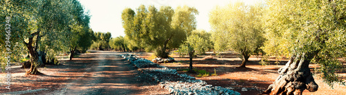Fotografia Olive grove. Old trees with bent trunks in the sunlight.