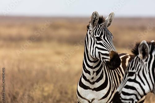 Fototapeta profile of a zebra on grass plain