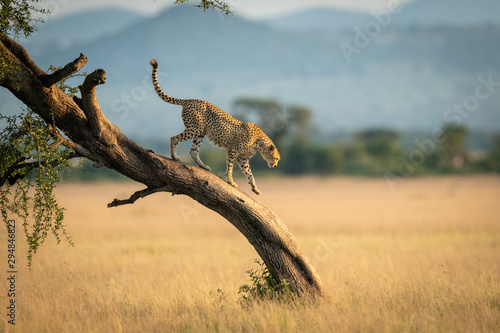 Cheetah walks down twisted tree in savannah Fototapeta