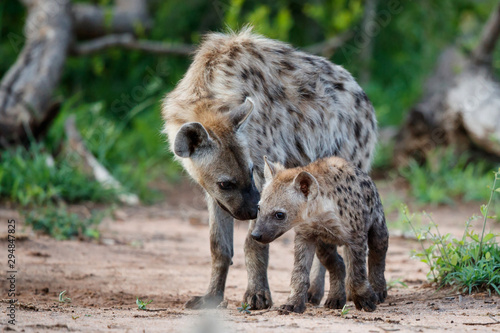 Fotografie, Tablou Hyena pup playing at the den with sunrise in Sabi Sands Game Reserve in South Af