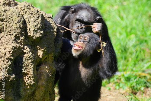 遊ぶチンパンジーの子供 Poster Mural XXL