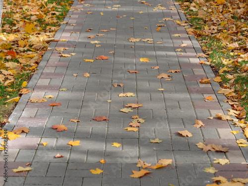 Stampa su Tela autumn maple yellow leaves on the sidewalk