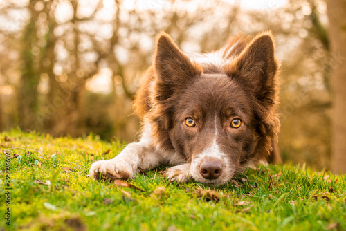 Fotografía Red and White Border Collie with Dark Face on Woodland Bank