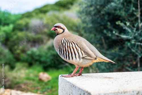 Fototapeta Chukar partridge (Alectoris chukar) in East Attica, Greece