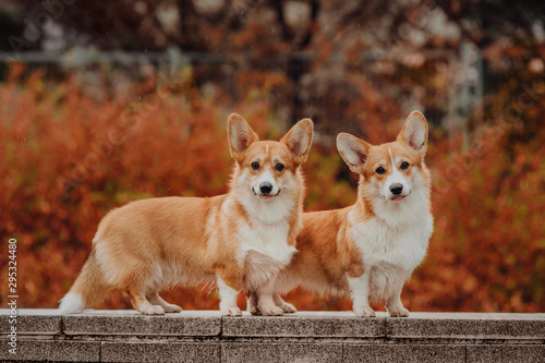 Canvas Print Welsh Corgi Pembroke in the autumn wether , red background