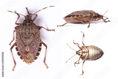 Brown marmorated stink bug close up dorsal and side view set Fotobehang