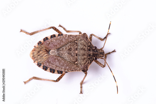 Foto Brown marmorated stink bug close up dorsal view