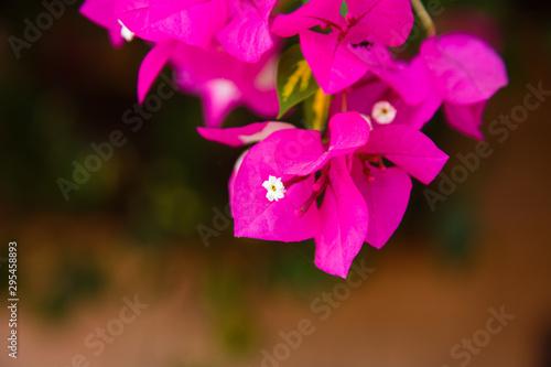 Canvastavla Bougainvillea bush vine