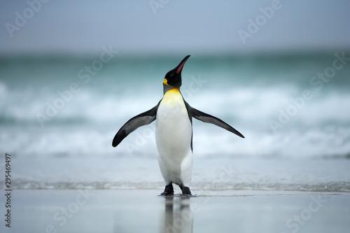 Fototapeta King penguin standing on the coasts of Atlantic ocean