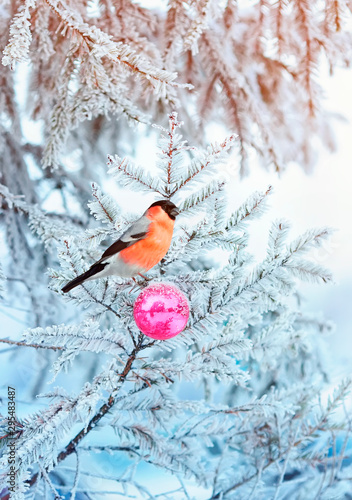 Fotomural beautiful card with the red bird bullfinch sitting on a spruce branch covered wi