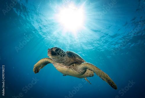 Fotografie, Obraz Hawaiian Green Sea turtle on a coral reef in Maui