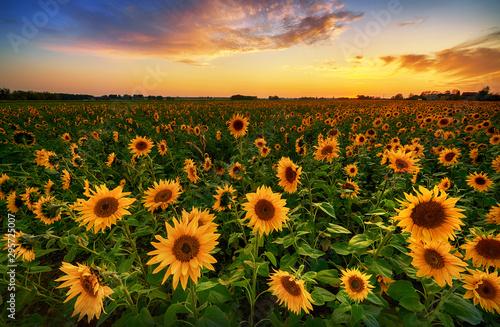 Piękny zmierzch nad słonecznika polem