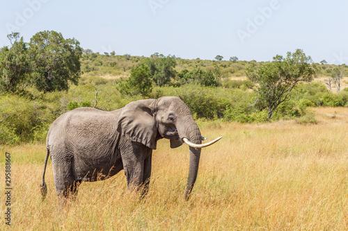 Fotografija Elephant with one tusk in a beautiful landscape