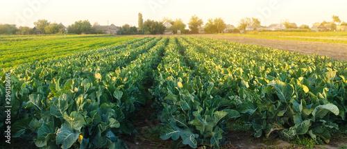 Fotografija Broccoli plantations in the sunset light on the field