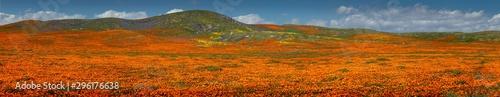 Fotografie, Obraz Antelope Valley Poppy Panorama