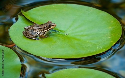 Young green frog (Rana clamitans) on pad of water lily (Nymphaea sp Fototapeta