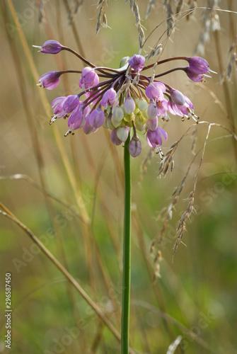 Fotografia Blossom of nodding wild onion (Allium cernuum) among meadow grasses along Appala