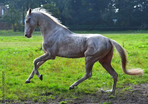 Canvas Print Dirty cremello akhal teke breed  stallion running in gallop in the field in backlight